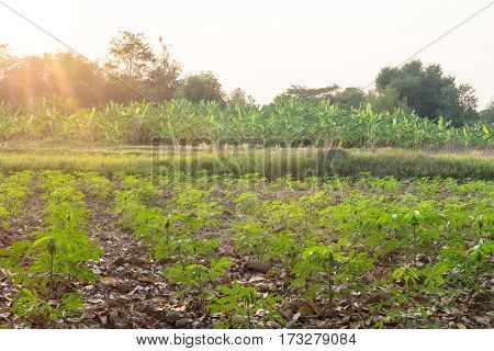 Cassava tree in the farm agriculture green can eat