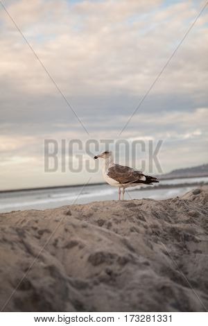 Lone California seagull in California San Diego on beach