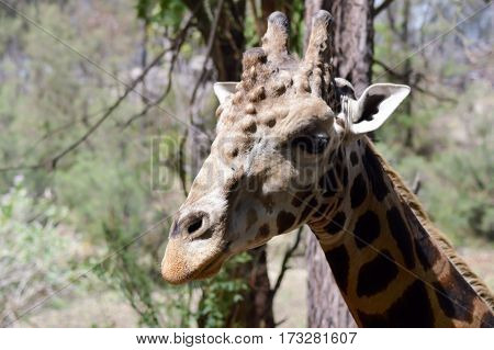 Giraffe head with several abscesses in a park in Mombasa Kenya