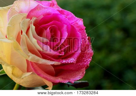 Beautiful rose flower with drops of dew Rose with drops of dew