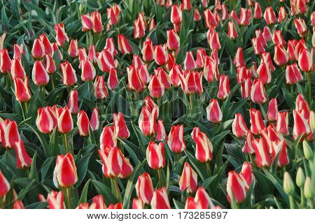 Beautiful Tulip Flower