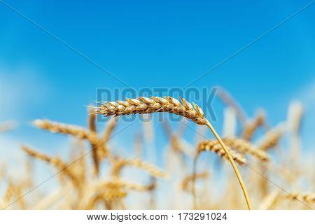 ripe harvest in field under blue sky