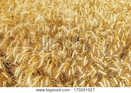 golden harvest field as background