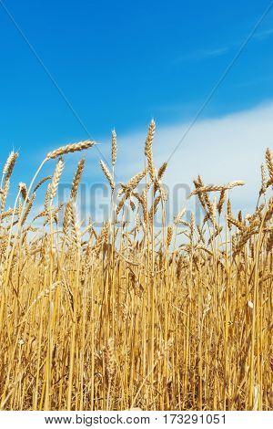 ripe wheat field and blue sky