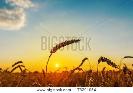 golden harvest on sunset time