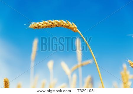 blue sky as background and golden ear of wheat
