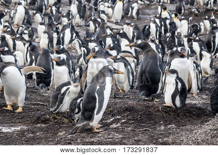 Gentoo Penguin - Pygoscelis papua -Gentoo Penguin colony - Parents and chicks - Falkland Islands
