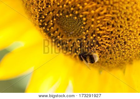 Close up image of a bee on sunlower