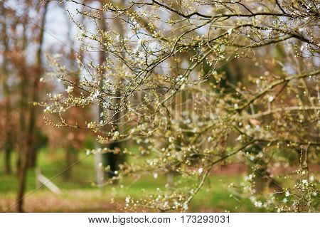Tree Branch With First Spring Flowers