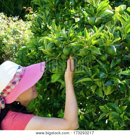 Woman picking fresh limes from tree during bright day