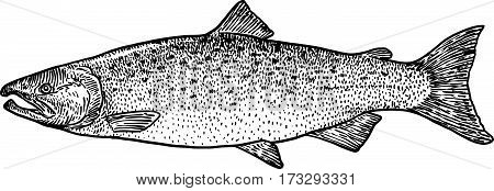 Salmon fish illustration, drawing, engraving, line art, realistic