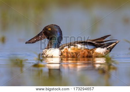 Northern Shoveler Swimming In Water Of Wetland