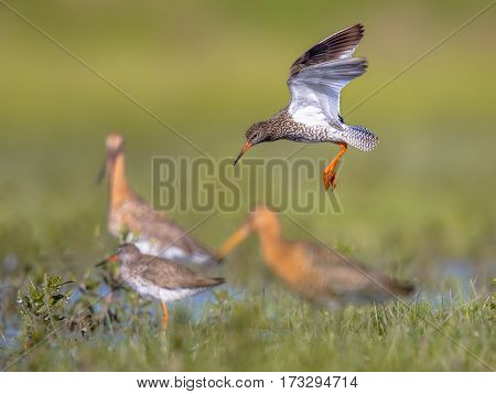 Flying Common Redshank Eurasian Wader Preparing For Landing At Migration Stopover
