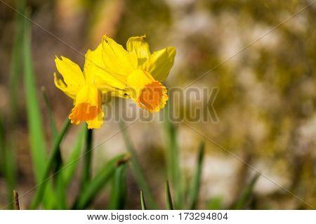 Close-up of yellow daffodils. Beautiful daffodils. Daffodils
