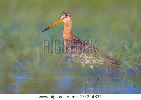 Majestic Black-tailed Godwit Wader Bird Suspiciously Looking In The Camera