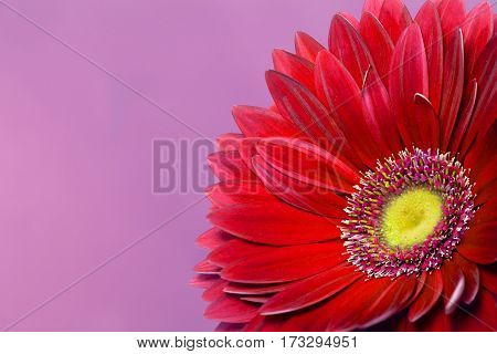 Beautiful red gerbera on a purple background
