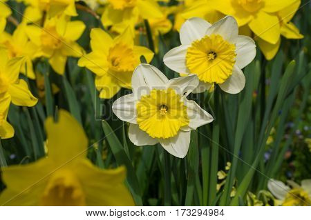 Daffodils in spring. Blooming Daffodils. Spring Flowers. Yellow Daffodils. Spring awakening. Bunch of Daffodils, Meadow full of Daffodils. Close-up of Daffodils