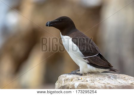 Razorbill On Rock