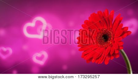 Beautiful red gerbera on a bright purple background with bokeh