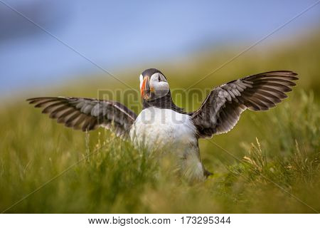 Young Puffin Exercising