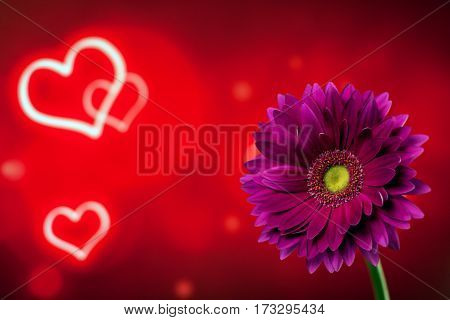 Beautiful purple gerbera on a bright red background with hearts
