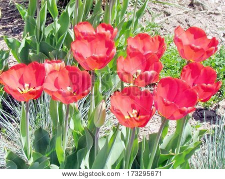 Red tulip flowers spring in garden of Toronto Canada