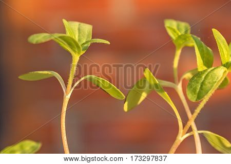 Sprouts of zinnia backlit on a blurred background of a brick wall in the evening sun macro
