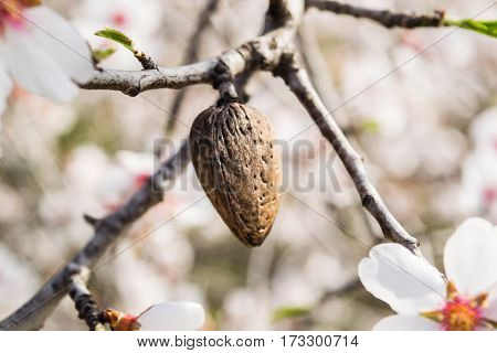 The almond tree flowers with branches and almond nut close up, blurry background