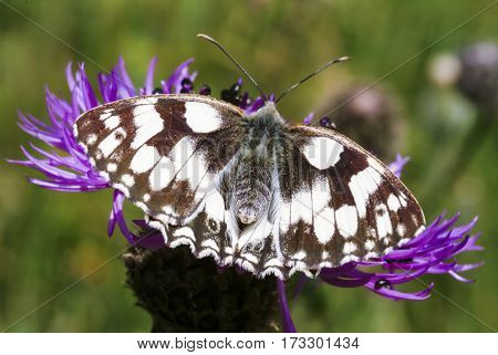 Marbled White butterfly Melanargia galathea on knapweed