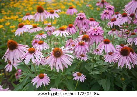 Lovely echinacea in full bloom and black eyed susans in the background.