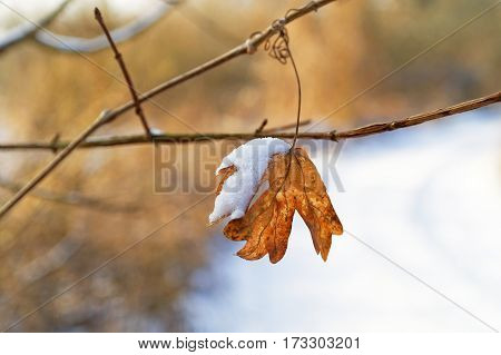 closeup of single yellow dried snow covered leaf