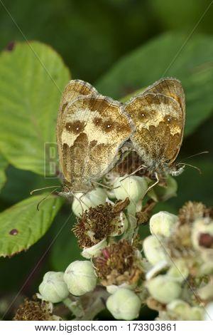 Pair of Gatekeeper butterflies Pyronia tithonus on bramble flowers