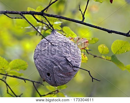 Big Wasp Nest hanging from aspen tree branch.