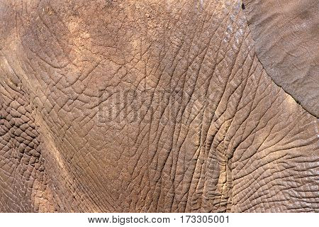 Close up on texture African Elephant hide caked with dirt and random pieces of straw ear in corner. African elephant's skin is only somewhere between 2 and 4 cm or .78 to 1.6 inches thick on average.