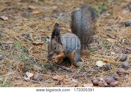 Gray squirrel gnaws a nut in the park. Animals