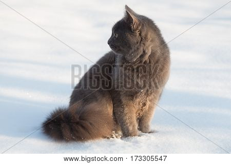 Portrait Of Fluffy Gray Cat In The Snow