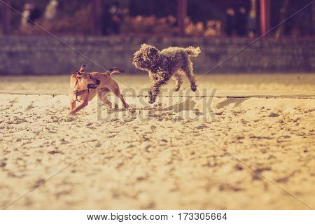 Playful animals pets outside concept. Two mongrel dogs playing together on sandy beach. Outdoor shot on sunny day.