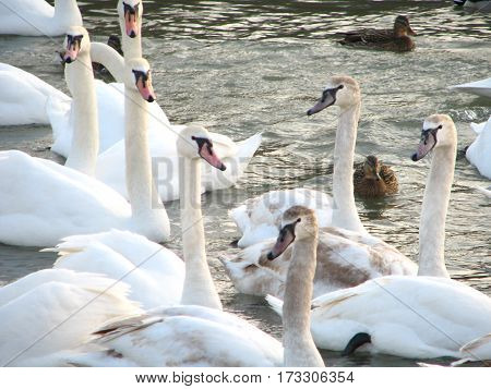 white swans and duck floating the river water