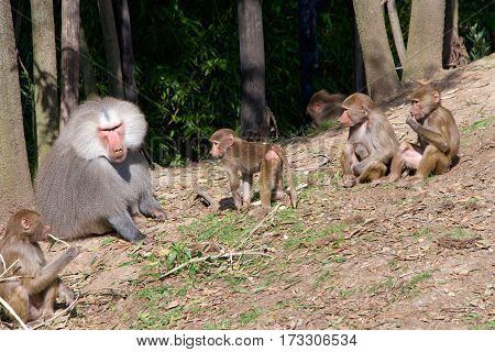 hamadryas baboons native to the Horn of Africa and the southwestern tip of the Arabian Peninsula. One male silver back with young baboons he tolerates the young and will carry and play with them.