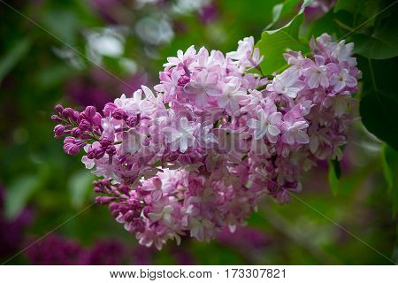 Branch of lilac flowers with the leaves. Nature