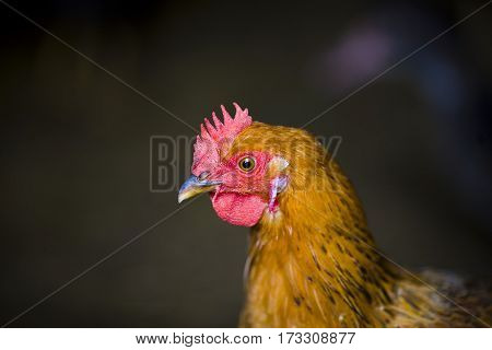 Closeup Of A Red Chicken On A Farm In Nature. Hens In A Free Range Farm. Chickens Walking In The Far