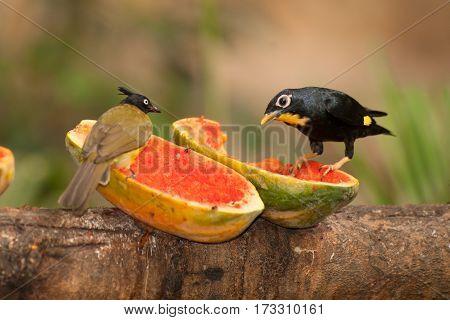 Beautiful bird Black-crested Bulbul Pycnonotus melanicterus perched on a fruit.