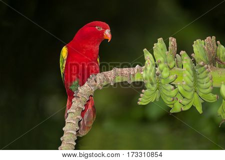 The chattering lory Lorius garrulus is a forest-dwelling parrot endemic to North Maluku, Indonesia.
