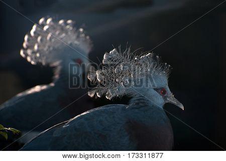 Victoria Crowned bird (Goura victoria), head profile with dark background.