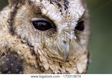 Beautiful Collared Scops Owl in Detail. Outdoor Shot.