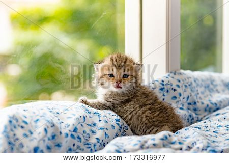 Close up of cute kitten sitting near window and waitting in cat cafe Tokyo Japan