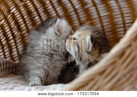 Close up of cute kittens snuggling on the pet bed in wicker basket.