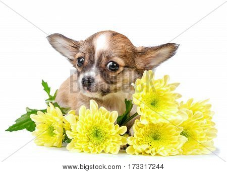 cute chihuahua puppy with yellow flowers close up isolated on white background