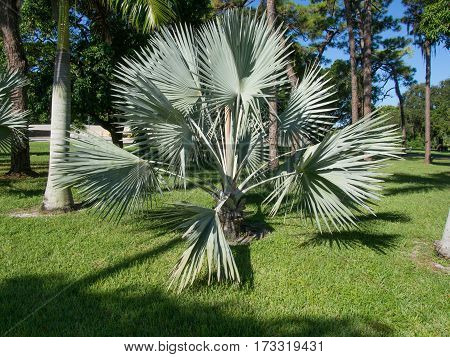 Fan Palms in a front yard near downtown Fort Myers Florida
