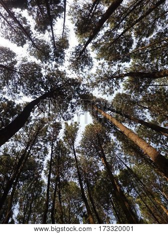 Forest of pines in Indonesia and just behind of backyards